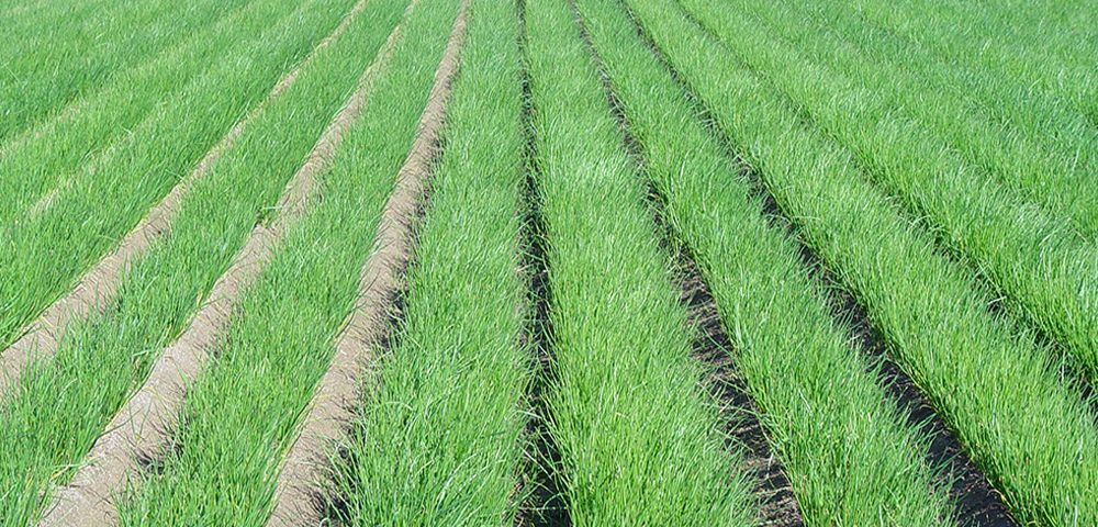 Fitofortificantes cultivo