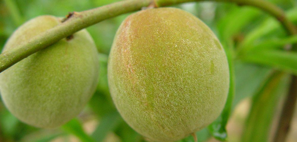 Smartfruit 2
