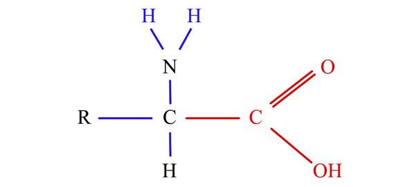 Los aminoácidos son moléculas orgánicas compuestas de carbono, hidrógeno, oxígeno y nitrógeno.
