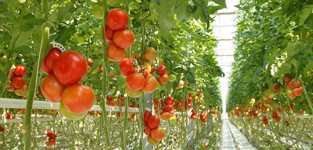 El azufre agrícola como fertilizante