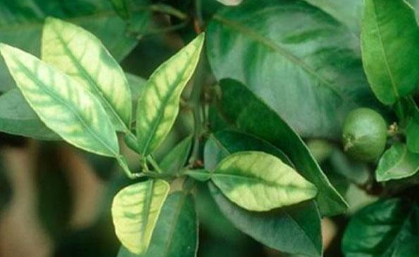 Carencia de zinc en naranjo