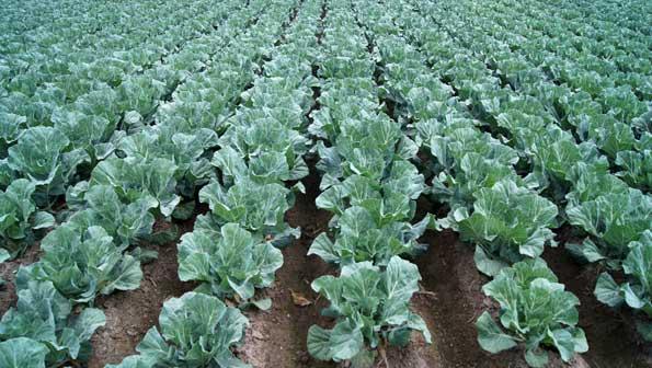 Cultivo de coliflores