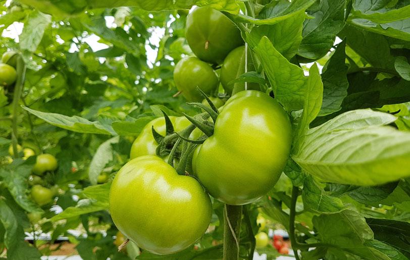 Bioestimulantes para la floración y cuajado de los frutos