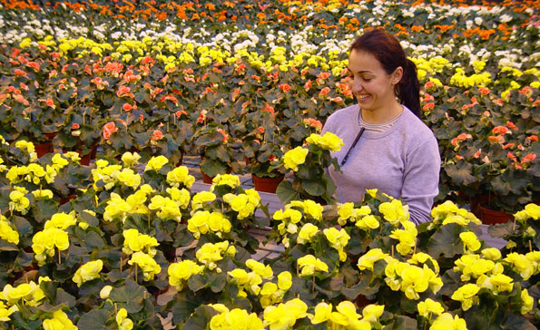 Cultivo de Begonia elatior