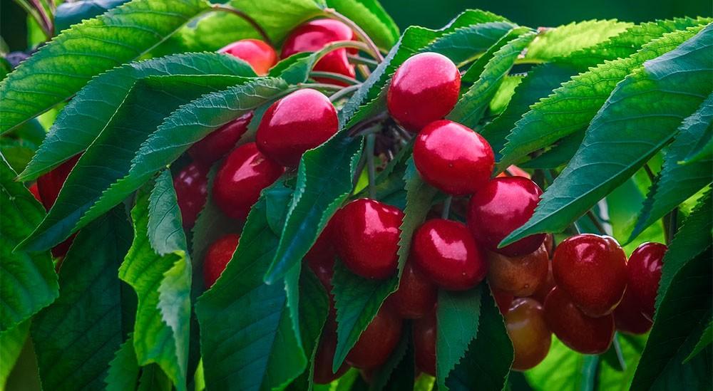 Cultivo de cerezas