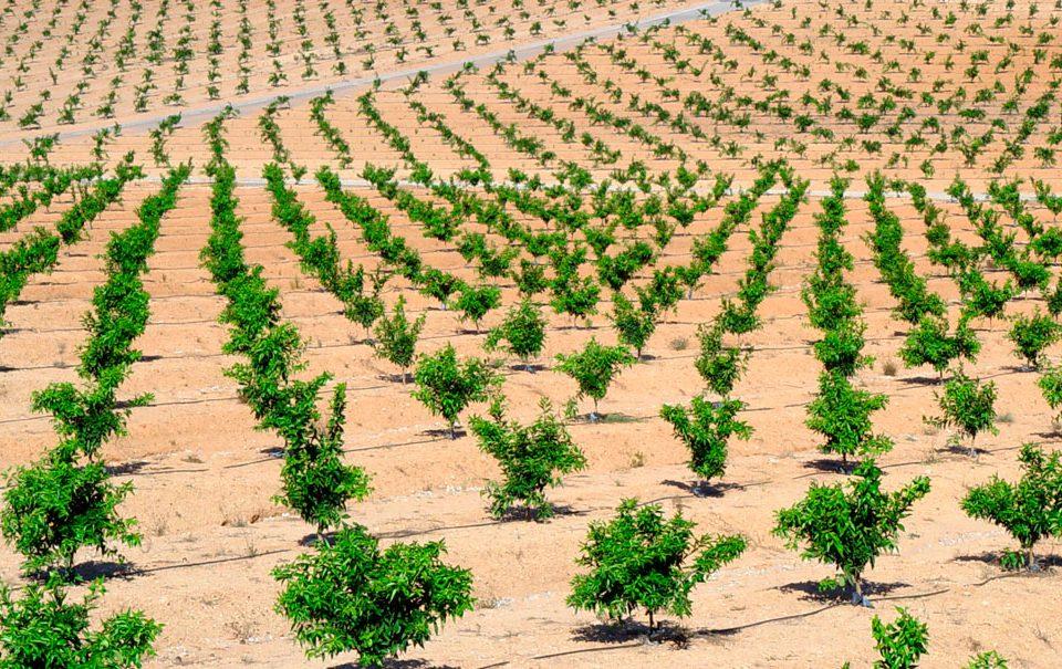 Cultivo de cítricos en fertirrigación