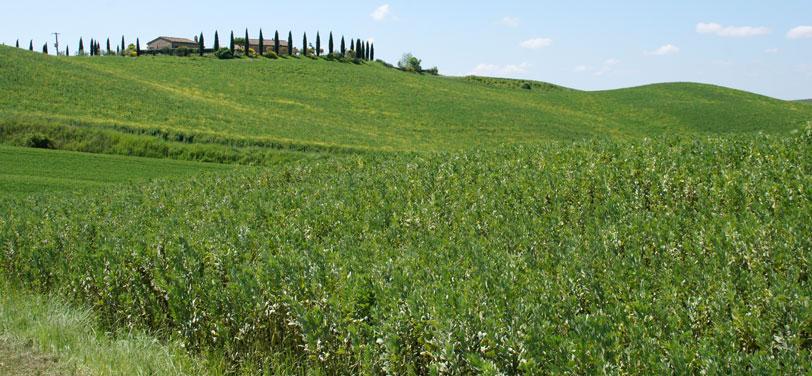Cultivo de abono verde aefa asociaci n espa ola de for Que es la asociacion de cultivos