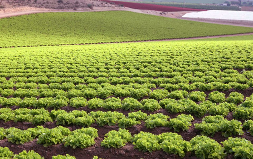 Cultivo de lechugas en Almería