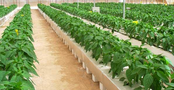 Cultivo de pimiento en hidroponía