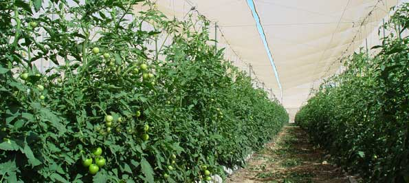 Cultivo de tomate en Murcia