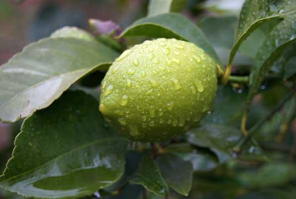 Fertilizantes para limoneros