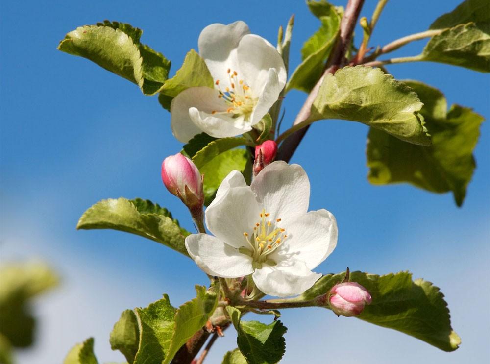 Flores de frutales