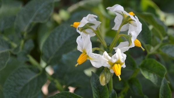 Flores de patata