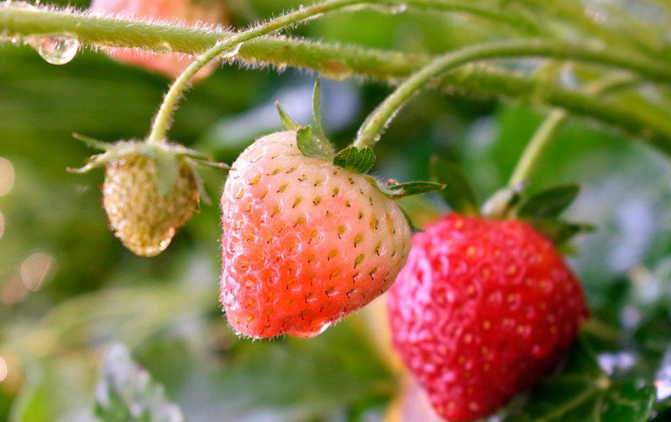 Fresas en cultivo