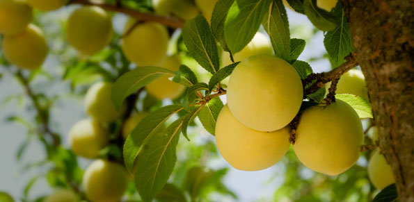 Producción de fruta de hueso sin residuos