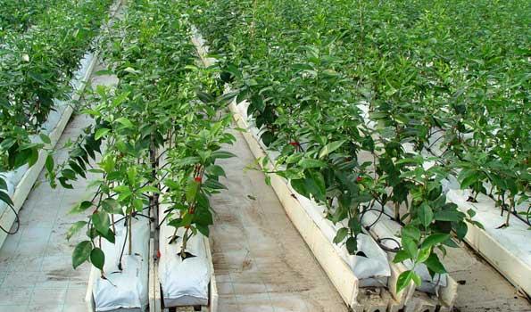 Frutales en cultivo hidropónico