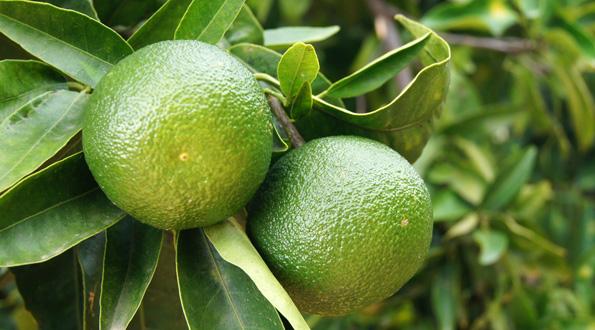 Frutos de cítricos