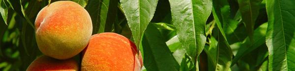 Frutos en melocotonero