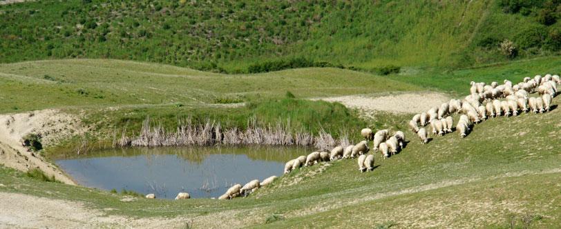 Ovejas en el valle de Orcia