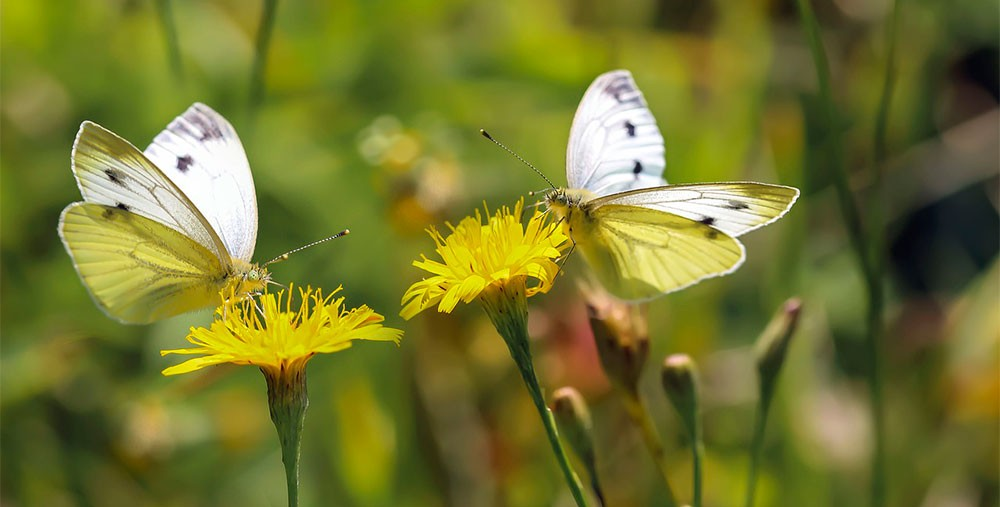 Mariposas polinizadoras