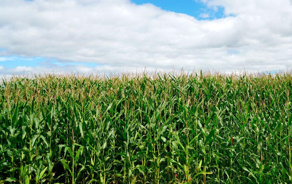 Plan de abonado del maíz