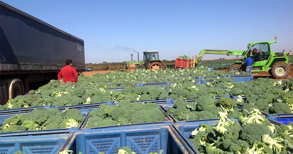 Recolección de broccoli