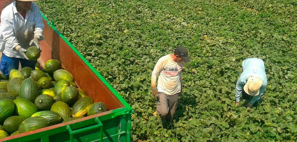 Recolección de melones