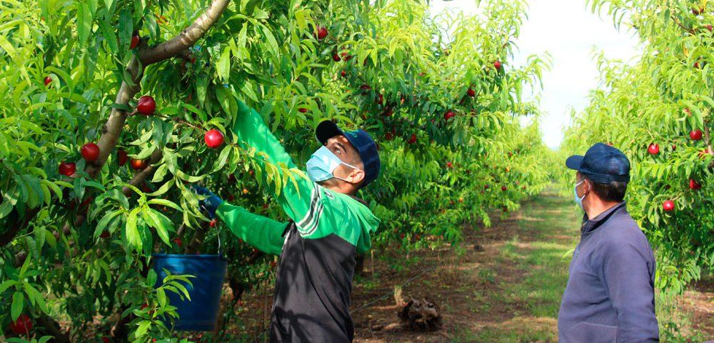 Recolección de nectarinas