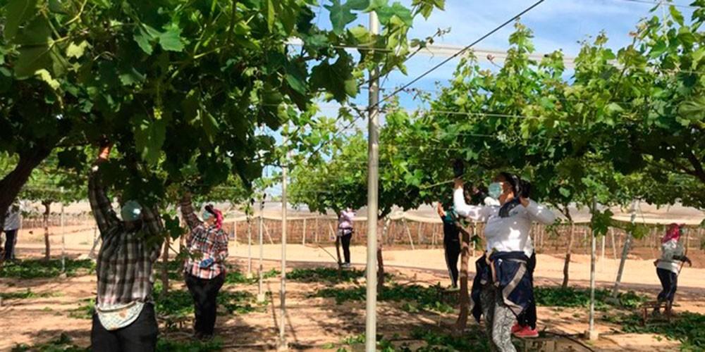 Recolección de uva