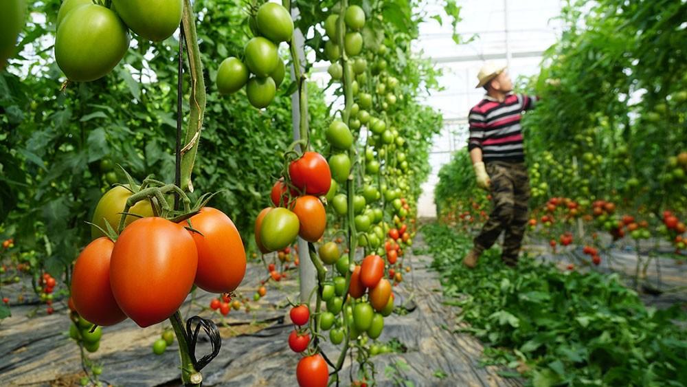 Variedad de tomate carbino